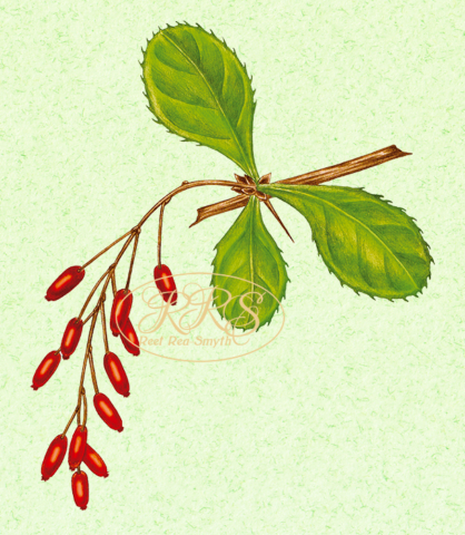European barberry