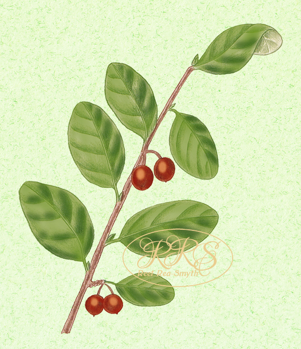 Common cotoneaster