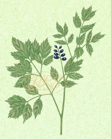 Eurasian baneberry