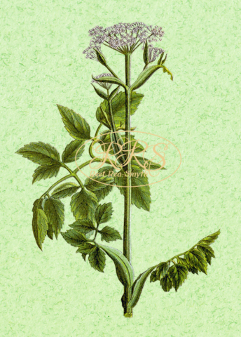 Marsh angelica