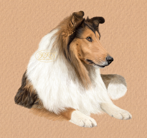 Pikakarvaline collie
