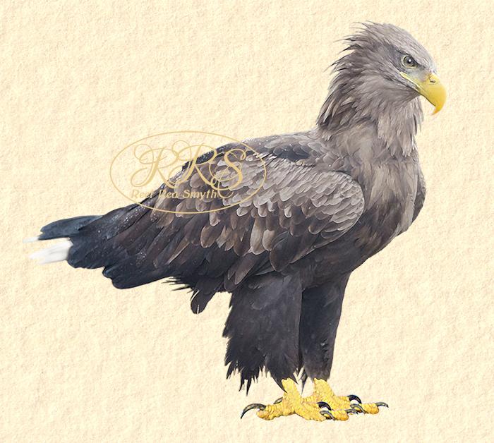 White-tailed Sea-eagle