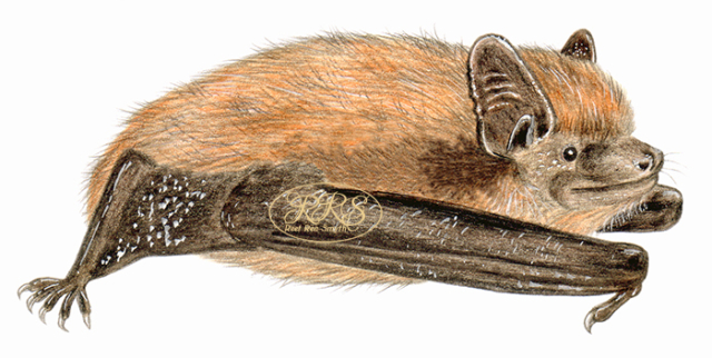 Nathusius' pipistrelle