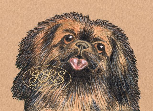 Pekingese portrait
