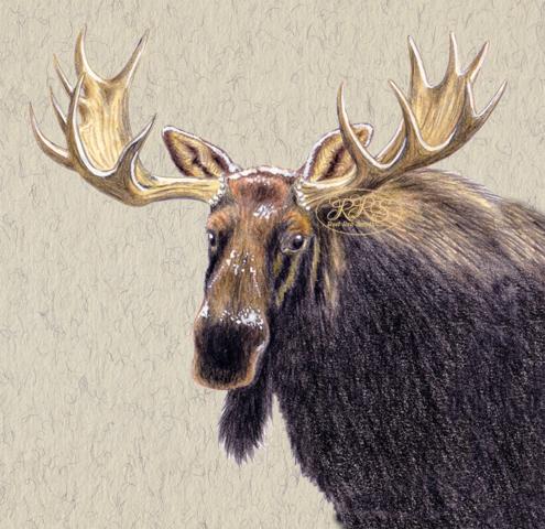 Eurasian elk portrait