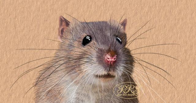 Rat portrait