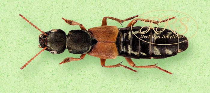 Staphylinus caesareus