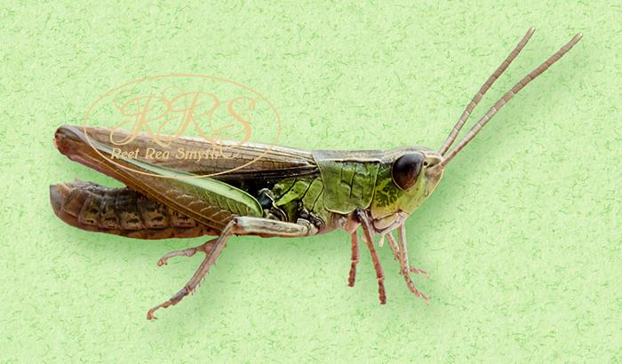 Lesser marsh grasshopper